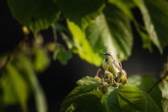 Męski purpurowy sunbird umieszczający i dopatrywanie zdjęcie royalty free