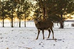 Męski renifer w parku zdjęcie royalty free