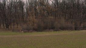 Męski rogacz samiec bieg w trawiastej łące zbiory