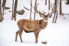 Męski rogacz w zima lesie Zakrywającym śnieg, Woundering Wh zdjęcia stock