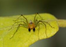 Męski rysia pająk na liściu Zdjęcie Royalty Free