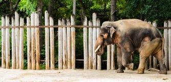 Męski słoń Fotografia Stock