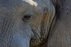 Męski słoń Obrazy Royalty Free