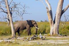 Męski słoń Fotografia Royalty Free