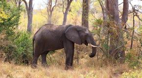 Męski słoń Zdjęcia Stock