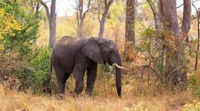 Męski słoń Obraz Royalty Free
