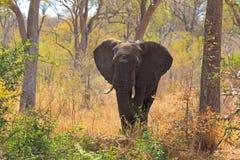 Męski słoń Zdjęcia Royalty Free