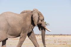Męski słoń Botswana Zdjęcia Royalty Free