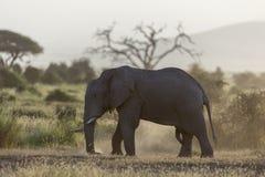 Męski słoń przy Amboseli parkiem narodowym Zdjęcia Stock