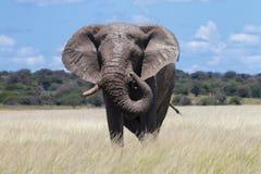 Męski słoń w Etosha obszarze trawiastym Zdjęcia Royalty Free