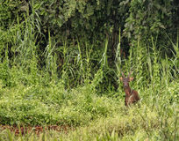 Męski Sambar rogacz w dzikiej dżungli przy Kinabatangan rzeką, Malezja zdjęcia royalty free