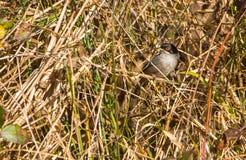 Męski Sardyński Warbler w gąszczu Zdjęcia Royalty Free
