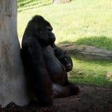 Męski Silverback Zachodniej niziny goryla obsiadanie przy skałą na tle zielonej trawy goryla goryla goryl obraz stock