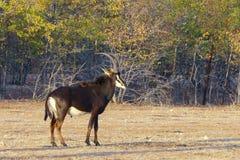 Męski sobolowej antylopy Hippotragus Niger z wspaniałymi rogami, Zdjęcia Stock