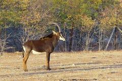 Męski sobolowej antylopy Hippotragus Niger z wspaniałymi rogami, Fotografia Stock