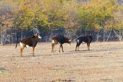 Męski sobolowej antylopy Hippotragus Niger z wspaniałymi rogami, Zdjęcie Stock