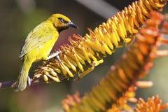 Męski spectacled tkacz siedzi na aloesu kwiacie jeść nektar Zdjęcia Stock