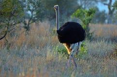 Męski struś (struthio camelus) Fotografia Royalty Free