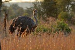 Męski struś (struthio camelus) Obraz Stock