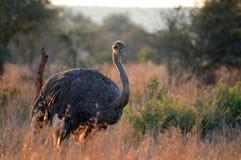 Męski struś (struthio camelus) Obrazy Stock