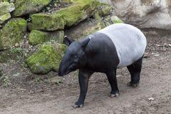 Męski tapir biega wzdłuż śladu waterhole Fotografia Royalty Free