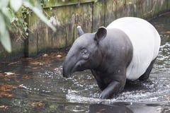 Męski tapira dopłynięcie w rzece w dżungli Obraz Stock