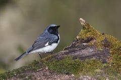 Męski Throated Błękitny Warbler umieszczał na mechatej beli zdjęcia royalty free
