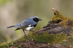 Męski Throated Błękitny Warbler umieszczał na zakrywającym fiszorku zdjęcie stock