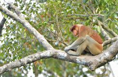 Męski Trąbiastej małpy Nasalis larvatus Fotografia Stock