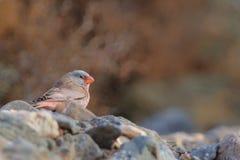 Męski trąbkarza Finch - Bucanetes githagineus Obrazy Stock