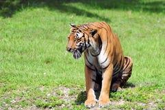 Męski tygrysi obsiadanie & warczeć Fotografia Stock