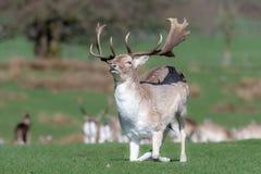 Męski ugorów rogaczy jeleń klęczy puszek na trawiastym polu obrazy stock