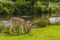 Męski ugoru rogacz obok Rzecznego Lin w Bradgate parku, Leicestershire, UK obraz stock