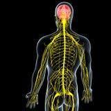 Męski układ nerwowy boczny widok Zdjęcia Stock