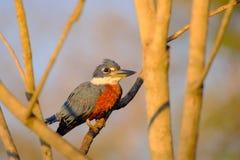 Męski Upierścieniony zimorodek, Megaceryle Torquata, ampuła i hałaśliwie zimorodka ptak, Pantanal, Brazylia, Ameryka Południowa zdjęcie stock