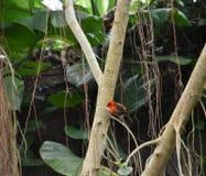 Męski vermillion flycatcher głęboko w lesie Fotografia Stock