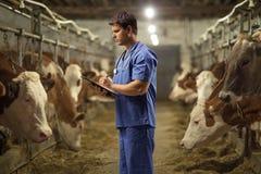 Męski weterynarz przy krowy gospodarstwem rolnym obraz royalty free