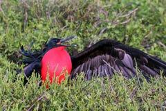 Męski Wielki Frigatebird & x28; Fregata minor& x29; wystawiać Zdjęcie Royalty Free