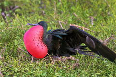 Męski Wielki Frigatebird & x28; Fregata minor& x29; wystawiać Zdjęcie Stock