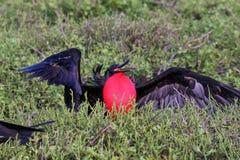 Męski Wielki Frigatebird & x28; Fregata minor& x29; wystawiać Fotografia Stock