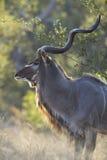 Męski Wielki kudu byk, Południowa Afryka (Tragelaphus strepsiceros) Fotografia Royalty Free