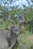 Męski wielki kudu z oxpecker pokazuje imponująco rogi Fotografia Stock