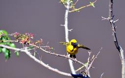 Męski wioska tkacza ptak - Wschodni przylądek, Południowa Afryka Fotografia Stock