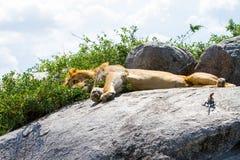 Męski Wschodni Afrykański lew i Mwanza przewodzący rockowy agama na skale Fotografia Stock