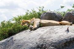 Męski Wschodni Afrykański lew i Mwanza przewodzący rockowy agama na skale Fotografia Royalty Free