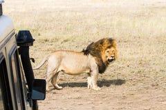 Męski Wschodni Afrykański lew & x28; Panthera Leo melanochaita& x29; z safari samochodem Obrazy Stock