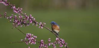 Męski Wschodni Bluebird Umieszczający w kwiatach Zdjęcia Stock