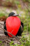 Męski Wspaniały Frigatebird z dętym gular sac na północy Se Obraz Stock