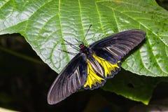 Męski Złoty Birdwing Troides aeacus motyl Fotografia Stock