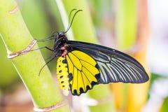 Męski Złoty Birdwing Troides aeacus motyl Zdjęcie Royalty Free
